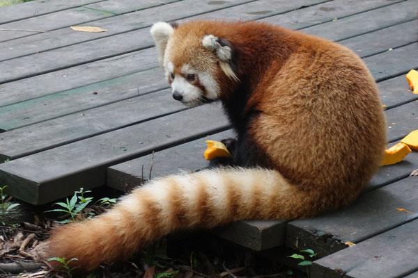 Pandabären in Chengdu Pandaaufzuchsstation Gehege der roten Pandabären