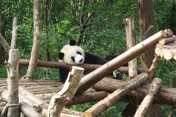 Pandabären in Chengdu Pandaaufzuchsstation drittes Gehege