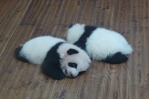 Pandabären in Chengdu Pandaaufzuchsstation Aufzuchtstation für Pandabären-Babys
