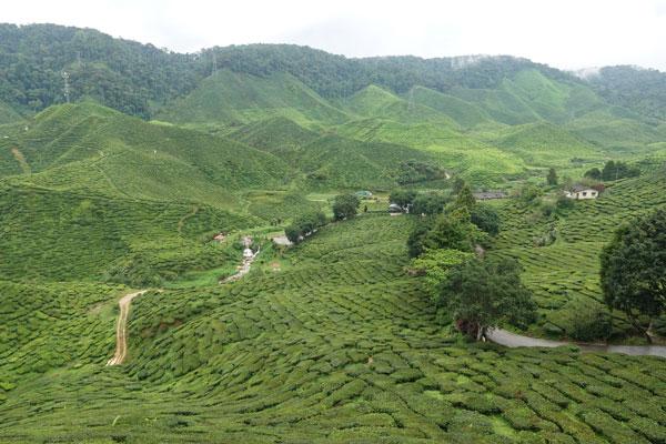 Cameron Highlands Malaysia Rafflessie und Teeplantage
