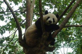 Pandabären Chengdu Pandaaufzuchsstation Beitragsbild