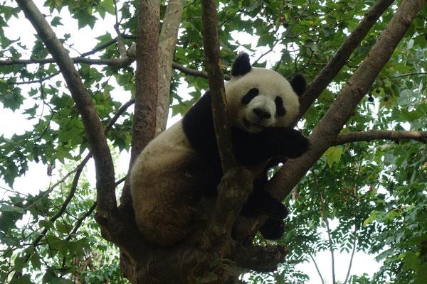 Die Pandabären in Chengdu – Das Highlight unserer Chinareise