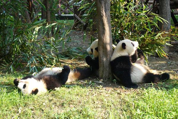Pandabären Chengdu Pandaaufzuchsstation zweites Gehege