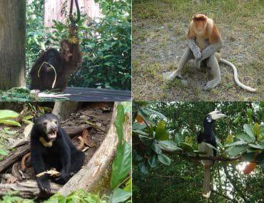 Sepilok Orang Utan und Nasenaffen in Sabah Wildparks Beitragsbild