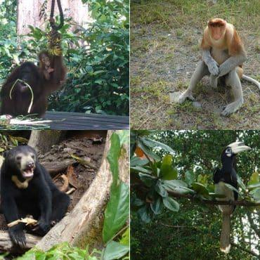 Sepilok – Orang Utan, Nasenaffen & den kleinsten Bären der Welt sehen