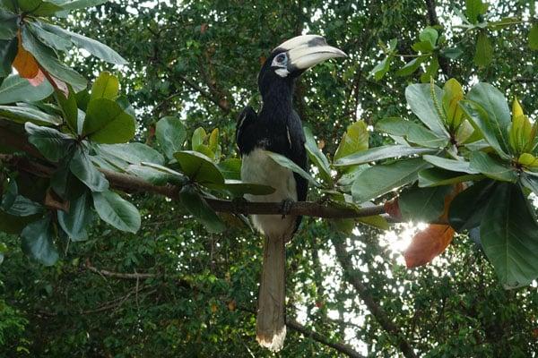 Oriental Pied Hornbill Labuk Bay